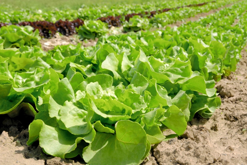A lettuce recall was caused by Salmonella bacteria.